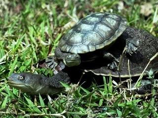 1-kura-kura-leher-ular-rote.jpg
