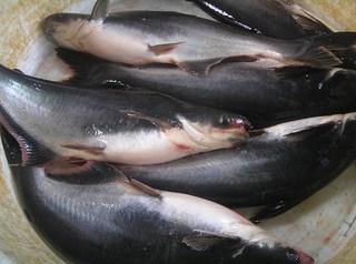 Ikan-patin.jpg