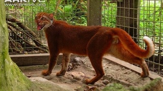 kucing-liar-kalimantan_20170903_073339.jpg